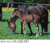 Купить «Belt, mare, foal animals, horses, mammals, benefit animals, Einhufer, uncloven-hoofed animals, Equidae, Equus, colts, herbivores, run animals, flight animals...», фото № 24328081, снято 25 августа 2000 г. (c) mauritius images / Фотобанк Лори