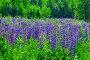 Цветы люпина на лужайке солнечным днем, фото № 24333185, снято 17 июня 2016 г. (c) Алексей Яговкин / Фотобанк Лори