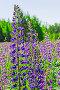 Цветы люпина на лужайке солнечным днем, фото № 24333197, снято 17 июня 2016 г. (c) Алексей Яговкин / Фотобанк Лори