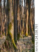 Купить «Scenery, black alders, Alnus glutinosa, trunks, Moore», фото № 24338761, снято 9 марта 2016 г. (c) mauritius images / Фотобанк Лори