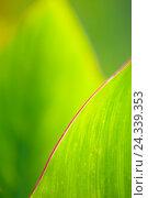 "Купить «Green leaves with red margin (Canna Indica hybrid ""Chad"", Cannaceae)», фото № 24339353, снято 23 сентября 2009 г. (c) mauritius images / Фотобанк Лори"