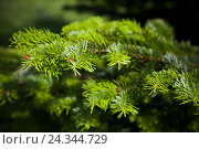 Купить «Spruce needles, detail,», фото № 24344729, снято 7 июня 2015 г. (c) mauritius images / Фотобанк Лори