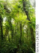 Купить «Guadeloupe, the Caribbean, jungle, rainforest, fern, vegetation, tropical, green,», фото № 24367785, снято 19 октября 2018 г. (c) mauritius images / Фотобанк Лори