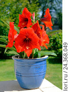 Купить «Amaryllis, Hippeastrum, variation 'Cape Town', blooming, red, potted plant, garden terrace», фото № 24368049, снято 16 июля 2018 г. (c) mauritius images / Фотобанк Лори