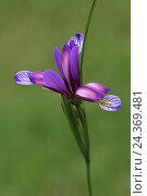 Купить «Grass-leaved flag Iris graminea», фото № 24369481, снято 20 августа 2018 г. (c) mauritius images / Фотобанк Лори