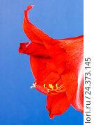 Купить «Amaryllis blossom», фото № 24373145, снято 16 декабря 2017 г. (c) mauritius images / Фотобанк Лори
