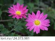 Купить «Indian chrysanthemum chrysanthemum», фото № 24373981, снято 20 августа 2018 г. (c) mauritius images / Фотобанк Лори