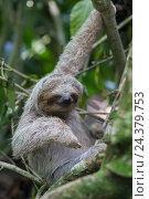 Купить «descending sloth», фото № 24379753, снято 21 июля 2018 г. (c) mauritius images / Фотобанк Лори