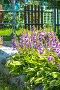 Цветущие Хосты ( Hosta ) в бордюре на даче, фото № 24392081, снято 10 июля 2016 г. (c) Евгений Мухортов / Фотобанк Лори