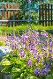 Цветущие Хосты ( Hosta ) на дачном участке в бордюре, фото № 24392141, снято 10 июля 2016 г. (c) Евгений Мухортов / Фотобанк Лори