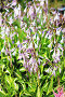 Цветы Хосты ( Hosta ) крупным планом, фото № 24392341, снято 10 июля 2016 г. (c) Евгений Мухортов / Фотобанк Лори