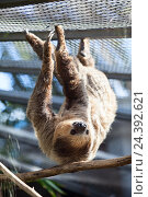 Купить «Двупалый ленивец Linnaeus Sloth висит в вольере. The Loro Parkue in Puerto de la Cruz, Tenerife, Canary, Spain», фото № 24392621, снято 4 января 2016 г. (c) Кекяляйнен Андрей / Фотобанк Лори