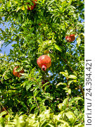 Купить «Спелые гранаты на ветке», фото № 24394421, снято 23 сентября 2015 г. (c) Евгений Ткачёв / Фотобанк Лори