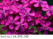 Купить «Oriental glue herb, Silene compacta, blossoms,», фото № 24395145, снято 25 марта 2019 г. (c) mauritius images / Фотобанк Лори