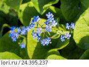 Купить «Голубые маленькие цветы незабудки», фото № 24395237, снято 26 мая 2015 г. (c) Евгений Ткачёв / Фотобанк Лори