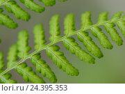 Купить «Worm fern, Dryopteris filix-mas, close-up,», фото № 24395353, снято 17 августа 2018 г. (c) mauritius images / Фотобанк Лори
