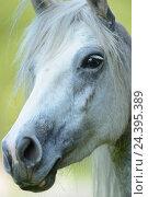 Купить «Connemara pony, mare, portrait,», фото № 24395389, снято 20 августа 2018 г. (c) mauritius images / Фотобанк Лори