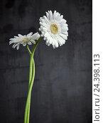 Купить «Gerbera, flowers, blossoms, white, still life,», фото № 24398113, снято 12 декабря 2017 г. (c) mauritius images / Фотобанк Лори