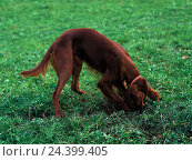 Купить «Irish setter, hole, dig, animal, animals, mammal, mammals, Mammalia, dogs, dog, Canidae, real dogs, Caninae, toe walkers, pet, pet dog, hound, colour hair, red, play, instinct», фото № 24399405, снято 18 июля 2018 г. (c) mauritius images / Фотобанк Лори