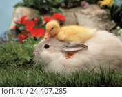 Купить «Quiet life, Easter, meadow, rabbit, duckling, on each other, hare, duck, chick, young animals, young animals, small, softy, sweetly, animal friendship, about one another, Easter motif», фото № 24407285, снято 27 апреля 2004 г. (c) mauritius images / Фотобанк Лори
