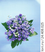 Купить «Bouquet, forget-me-not, flowers, plants, flowers, Myosotis spec., borage plants, blossom, blossoms, spring flowers, spring, present, Mother's Day, product photography, Still life», фото № 24408025, снято 8 апреля 2003 г. (c) mauritius images / Фотобанк Лори