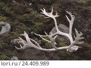 Купить «Norway, Spitsbergen, scenery, pensioner's antlers, Northern, Europe, Scandinavia, Auftauboden, stones, moss, bemoost, pensioner, remains, antlers, product photography», фото № 24409989, снято 14 ноября 2003 г. (c) mauritius images / Фотобанк Лори