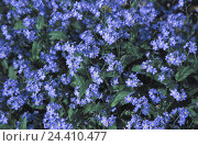Купить «Meadow, detail, forget-me-not, wet, flower meadow, spring, flowers, Myosotis, borage plants, blossom, blossoms, drops water, raindrops», фото № 24410477, снято 24 марта 2003 г. (c) mauritius images / Фотобанк Лори
