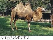 Купить «Zoo, camel, Camelus ferus, Camelidae, animal, riding animal, Schwielensohler, beast burden, benefit animal, Camelidae, cloven-hoofed animal, blockhead animal, mammal, mammals», фото № 24410813, снято 29 ноября 2002 г. (c) mauritius images / Фотобанк Лори