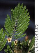 Купить «Silk tree (Albizzia julibrissin), detail, leaves, blossoms, near», фото № 24411373, снято 17 января 2000 г. (c) mauritius images / Фотобанк Лори