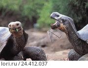 Купить «Ecuador, Galapagos islands, Galapagos gigantic tortoises (Geochelone elephantopus), eat tortoise, tortoises, gigantic tortoise, reptile», фото № 24412037, снято 3 мая 2000 г. (c) mauritius images / Фотобанк Лори