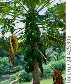 Купить «Pawpaw tree, Carica papaya tree, plant, tropical, exotic, food, eat, papaya, papayas, fruit, fruit-tree, fruits, berries, tree melons, papaya fruits, outside», фото № 24425905, снято 17 августа 2018 г. (c) mauritius images / Фотобанк Лори