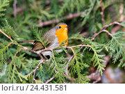 Купить «Зарянка. Robin (Erithacus rubecula).», фото № 24431581, снято 20 ноября 2016 г. (c) Василий Вишневский / Фотобанк Лори
