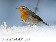 Купить «Зарянка. Robin (Erithacus rubecula).», фото № 24431589, снято 27 ноября 2016 г. (c) Василий Вишневский / Фотобанк Лори