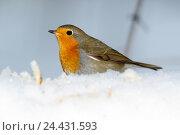 Купить «Зарянка. Robin (Erithacus rubecula).», фото № 24431593, снято 27 ноября 2016 г. (c) Василий Вишневский / Фотобанк Лори