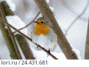Купить «Зарянка. Robin (Erithacus rubecula).», фото № 24431681, снято 4 декабря 2016 г. (c) Василий Вишневский / Фотобанк Лори