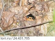 Купить «Зарянка. Robin (Erithacus rubecula).», фото № 24431705, снято 5 мая 2016 г. (c) Василий Вишневский / Фотобанк Лори