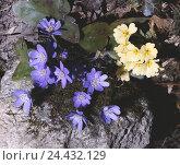 Купить «Liverworts, Hepatica nobilis, stalk batches primrose, Primula vulgaris, close up, nature, botany, flora, plants, flowers, Alpine flowers, Alpine flora...», фото № 24432129, снято 22 сентября 2005 г. (c) mauritius images / Фотобанк Лори