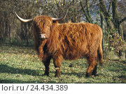 Купить «Scottish highland cattle, Bos primigenius Taurus, mammal, cloven-hoofed animal, horned ungulates, Bovidae, house cattle, tree bark, pet, benefit animal, Highland, red-brown, shaggy, pasture, outside», фото № 24434389, снято 3 мая 2005 г. (c) mauritius images / Фотобанк Лори