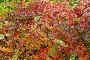 Барбарис обыкновенный (Berberis vulgaris) осенью, фото № 24436197, снято 13 октября 2013 г. (c) Алёшина Оксана / Фотобанк Лори