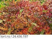 Купить «Барбарис обыкновенный (Berberis vulgaris) осенью», фото № 24436197, снято 13 октября 2013 г. (c) Алёшина Оксана / Фотобанк Лори