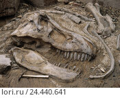 Купить «Excavation, fossilization, dinosaur, detail, skull, bile, stone, Sand, saurians, old animal, Tyrannosaurus, remains, rests, skeleton, dinosaur skull, cogs...», фото № 24440641, снято 21 апреля 2018 г. (c) mauritius images / Фотобанк Лори