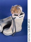 Купить «Wellingtons, golden hamsters, Mesocricetus auratus, curiosity mammals, mammal, pets, pet, rodents, rodent, Rodentia, Wühler, Cricetidae, hamster, hide, play», фото № 24447453, снято 21 мая 2003 г. (c) mauritius images / Фотобанк Лори
