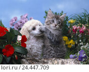 Купить «Garden, cat, poodle, young animals, paw, nose, dog, outside, puppy, dog, kitten, house cat, striped, animal friendship, dog breed, pedigree dog, pets, pet», фото № 24447709, снято 22 января 2004 г. (c) mauritius images / Фотобанк Лори