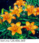Купить «Summer-blossoming fire lilies from the species of Asian hybrid in the shrub bed of a cottage garden», фото № 24456369, снято 21 августа 2018 г. (c) mauritius images / Фотобанк Лори