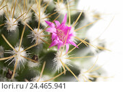 Купить «Wart cactus, Mammillaria, bloom,  close-up  Series, plant, Kakteengewächs, cactus, Cactaceae, desert plant, room plant, cactus bloom, blooms, blooms, pink...», фото № 24465941, снято 18 сентября 2018 г. (c) mauritius images / Фотобанк Лори