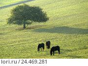 Купить «Meadow, Iceland horses, eat, pasture, belt, animals, mammals, uncloven-hoofed animals, horses, riding horses, horse's race, thoroughbred horses, Iceland...», фото № 24469281, снято 23 декабря 2004 г. (c) mauritius images / Фотобанк Лори