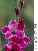 Купить «Gladiolus, detail, blossoms, pink, nature, vegetation, plant, flower, ornamental plant, iris plant, Gladiolus, Siegwurz, calyxes, softly, delicacy, fragility, petals, white-bordered, border», фото № 24474909, снято 30 ноября 2004 г. (c) mauritius images / Фотобанк Лори