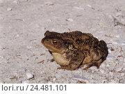 Купить «Gravel way, earth toad, Bufo bufo, footpath, bile, animals, animal, Amphibians, Amphibian, Amphibia, amphibians, frog Amphibian, Anura, Salientia, toad, frog», фото № 24481101, снято 18 февраля 2003 г. (c) mauritius images / Фотобанк Лори