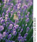 Купить «Lavender blossoms, real lavender, Lavandula angustifolia, butterfly, thistle butterfly, Vanessa cardui lavender field, small Speik, blossoms, mauve, lavender...», фото № 24484669, снято 8 ноября 2005 г. (c) mauritius images / Фотобанк Лори