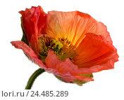 Купить «Poppy bloom, free plates,   Poppy, Papaver, bloom, flower, field flower, petals, red, opened, blooms, nature, botany, pollen, Staubgefäsche, capsule, beauty...», фото № 24485289, снято 16 июля 2018 г. (c) mauritius images / Фотобанк Лори